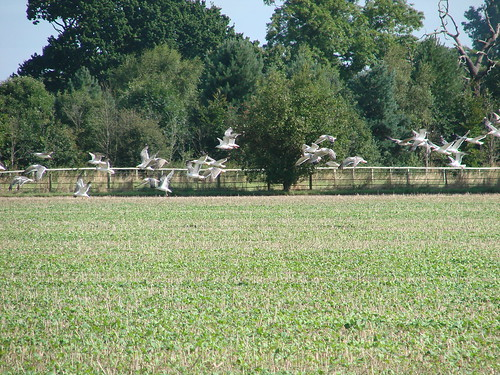 Gulls over Potton | by Rick Wright, Tours and Private Guiding