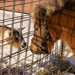 Inter-species Bonding:  Miniature Horse meets Miniature Goat