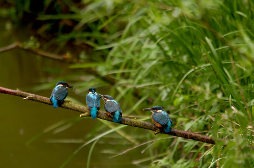 A Line Of Kingfishers | by Chris McLoughlin