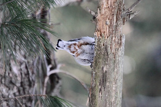 White-breasted Nuthatch | by Birdfreak.com