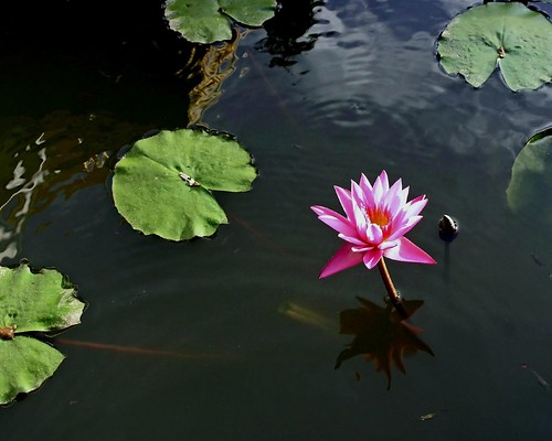 lotus flower and reflection | by Zé Eduardo...