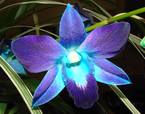 Blue Orchid | by kathleenjacksonphotography