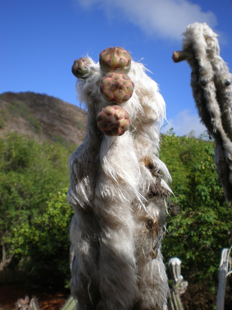 ... Old Woolly Torch Cactus, Koko Crater Botanical Garden, Honolulu | By  Joel Abroad