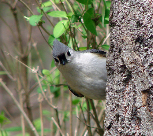 Tufted Titmouse | by Laura Erickson