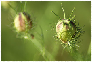Thistles ... | by pascal.maison