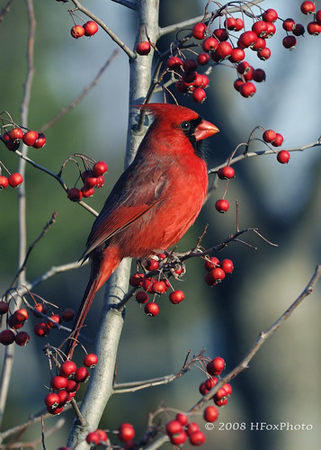 Cardinal in Hawthorn Tree | by H. Fox