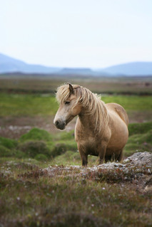 Gullmerin..(The Golden Mare) | by Gígja Einars..