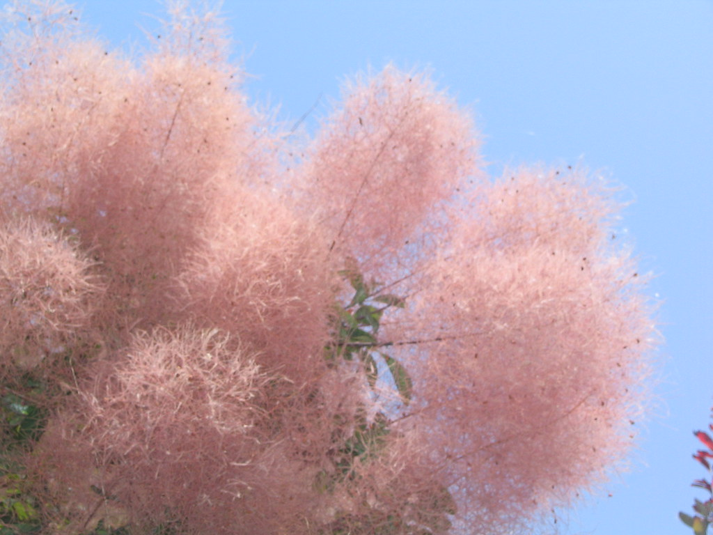 Fluffy Pink Smoke Tree Cotinus Craftybirdy Flickr