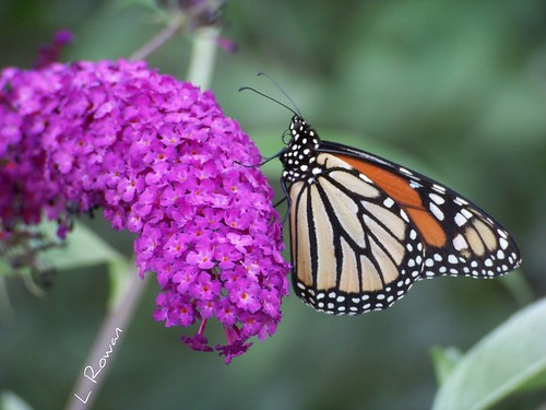 Monarch on Butterfly Bush.... | by Laura Rowan