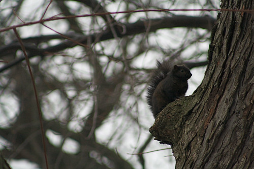 Black squirrel | by ffg