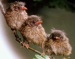 baby robins | by coral.hen4800