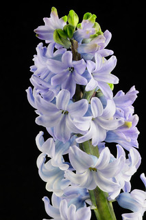 Hyacinth 10, Colorado | by sethgoldstein72