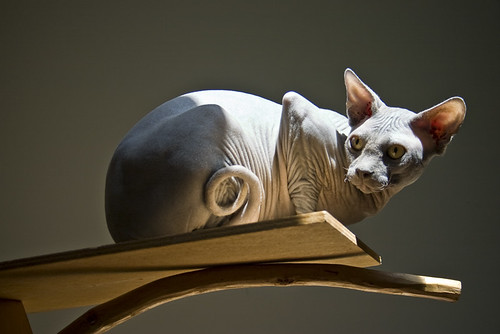 Kinsey the Sphynx | by The Pug Father