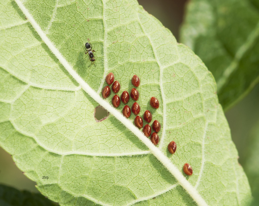 Leaf-footed Bug eggs shs_0022 | Leaf-footed Bug eggs at the … | Flickr
