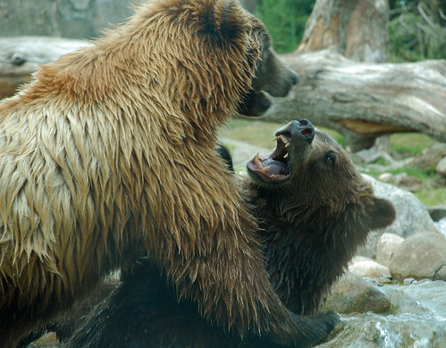 Grizzly fight   Grrrrrrrr | by Photos by Linda A