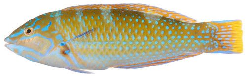 Halichoeres radiatus, Terminal Phase (Puddingwife Wrasse) | by Smithsonian Institution