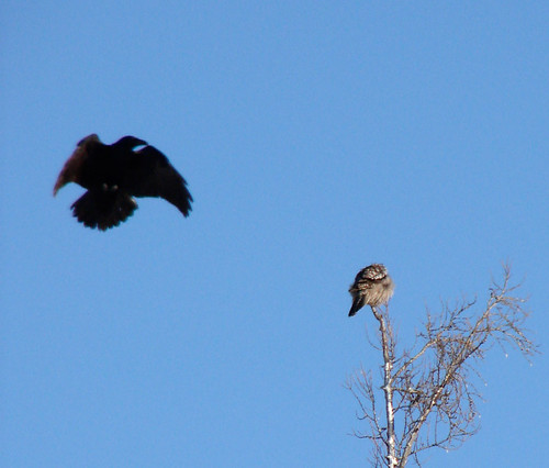Raven attacking Northern Hawk Owl | by Laura Erickson