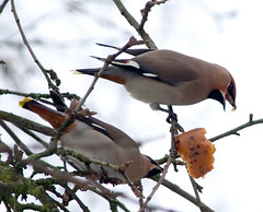 Waxwings eating apples | by phenolog
