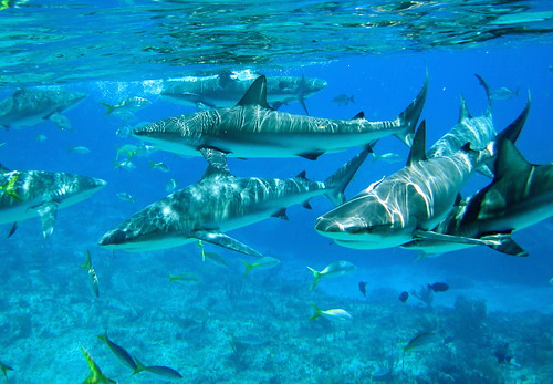 Caribbean reef sharks | by Arctic Al