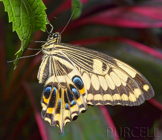 Emperor Swallowtail | by Jim Purcell