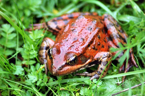 Red-legged frog | by kqedquest