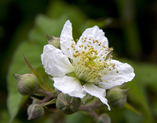 Blackberry Blossom | by Theresa Elvin