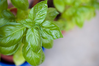 have you seen enough of my basil yet? | by bookgrl