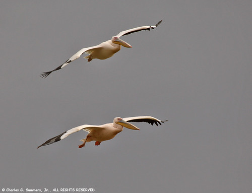 Two African Pelicans coming in for a landing 0R7E8208 | by WildImages