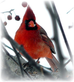 Northern Cardinal Male | by chippewabear