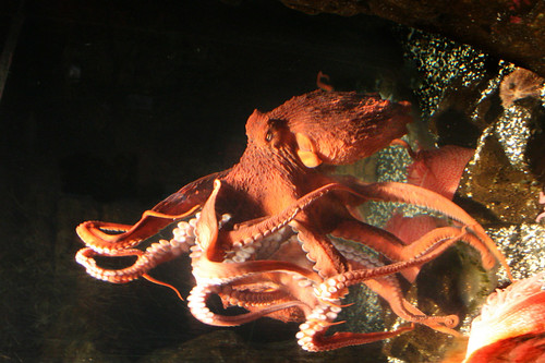 Marvels and Mysteries - Giant Pacific Octopus | by TatumCreative