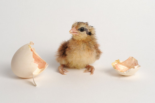 newly hatched chick this chick just hatched 30 minutes ago flickr