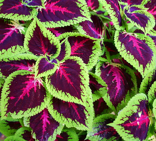coleus | by jjrestrepoa (busy)