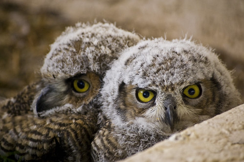 Becoming a wise owl takes lots of concentration | by desertdutchman