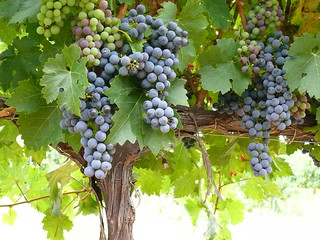 Merlot grapes | by Bodegas Urabain