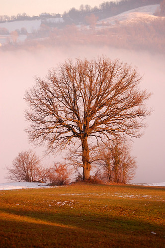 Oak in the fog | by torremountain