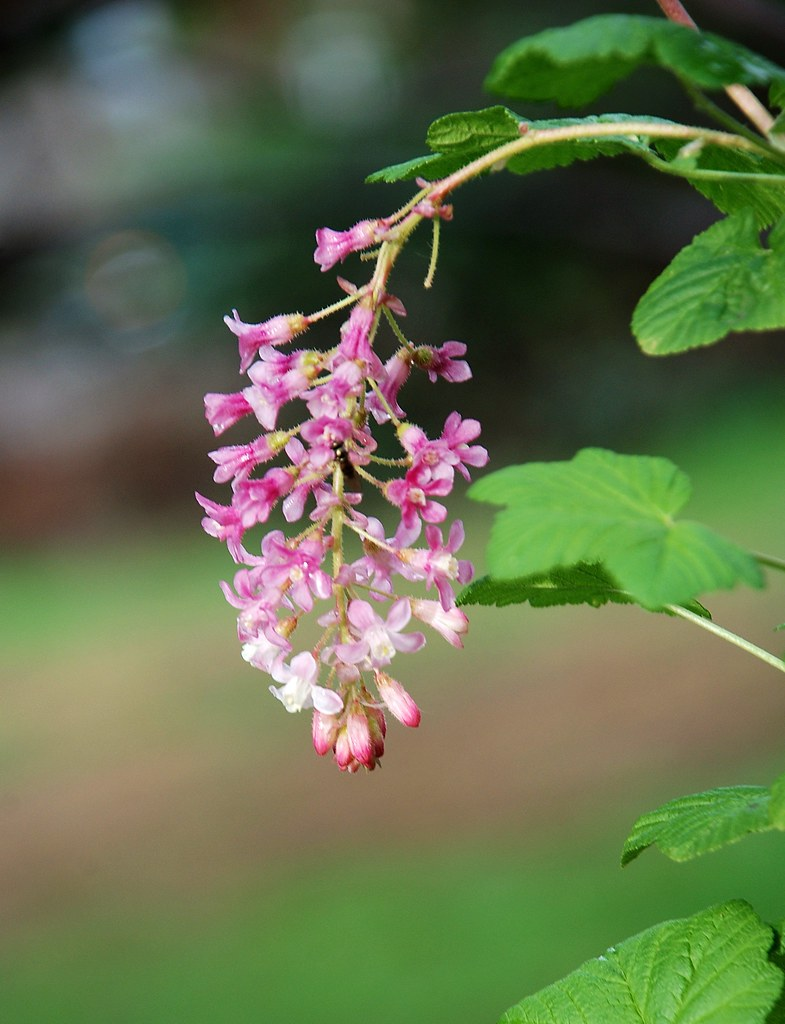 Ribes sanguineum pink flowering currant planted in a par flickr ribes sanguineum pink flowering currant by peteeastbaywilds mightylinksfo