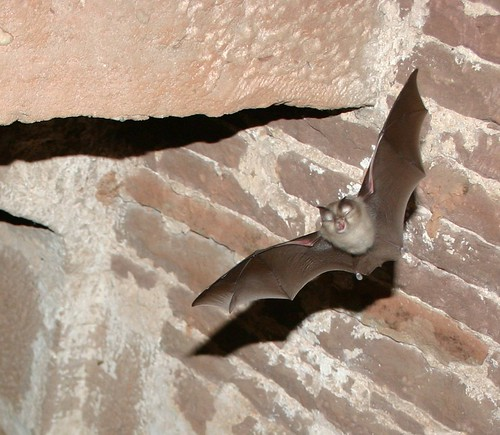 Lesser horseshoe bat (Rhinolophus hipposideros) bat flying towards you | by Jessicajil