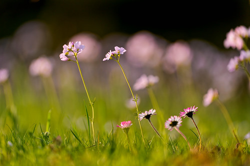 Daisies and other flowers | by Tambako the Jaguar