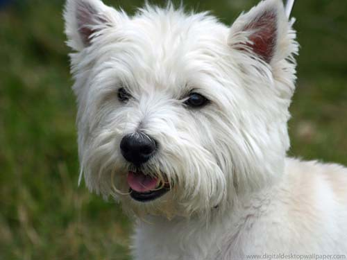 Westie Dog For Sale Port Talbot