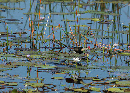 Comb-crested Jacana | by Greg Miles