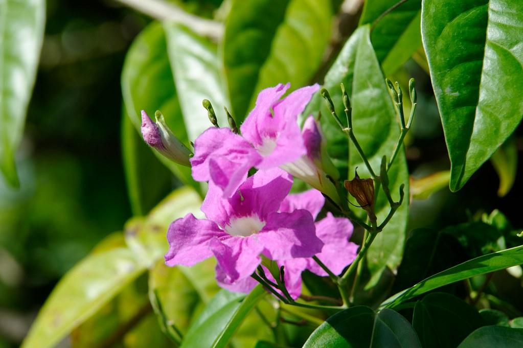 Fleur Mauve 1 Fleur De Mon Jardin Creole Roger971 Flickr