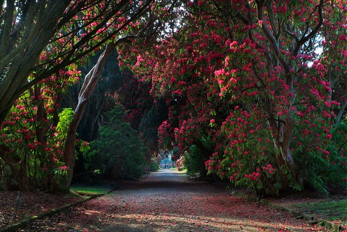 Rhododendron Trail, Kilmacurragh | by Bren Cullen