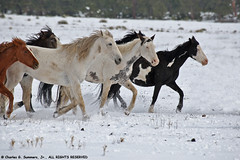 Wild Horses running in fresh snow 0R7E5769 | by WildImages