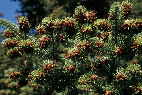 Abies cephalonica male cones | by Nick Turland