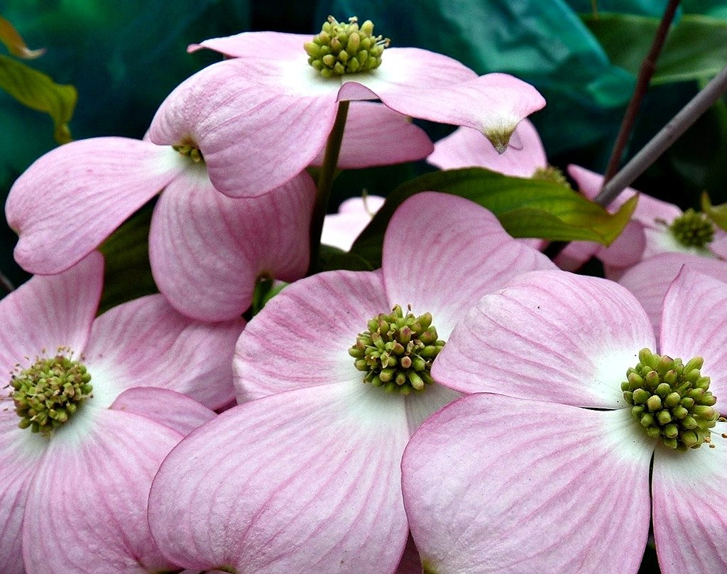 Pink Dogwoods Indian Arrowwood Pink Dogwoods Are Among A Flickr