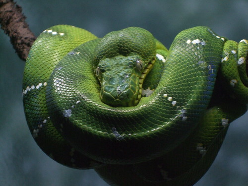 Emerald Boa Tree Snake | by Sheree (Here intermittently)