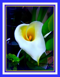 A calla for Rosanne | by IDIAY