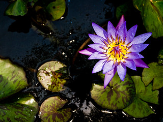 Water Lily | by monsieurpotts
