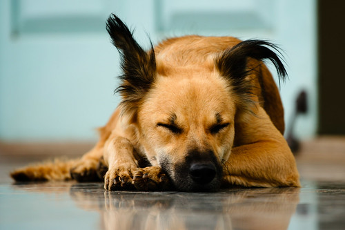 Sleeping Street Dog | by Jnarin