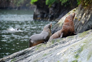 seals in milford sound | by hopemeng